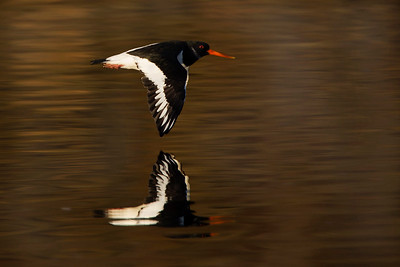 Oystercatcher Reflection. John Chapman.