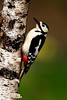 Female. Gt. Spotted Woodpecker. John Chapman.