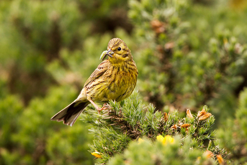Female Yellowhammer with Food. Accepted in the local newspaper. John Chapman.