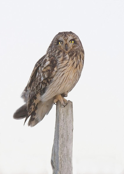 Short Ear Owl.