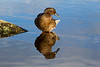 Female Mallard Duck Reflection. John Chapman.