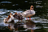 Goosander with Chicks. John Chapman.