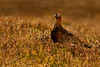 Red Grouse. Aberdeenshire. John Chapman.