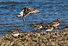 Turnstones migrating. John Chapman.
