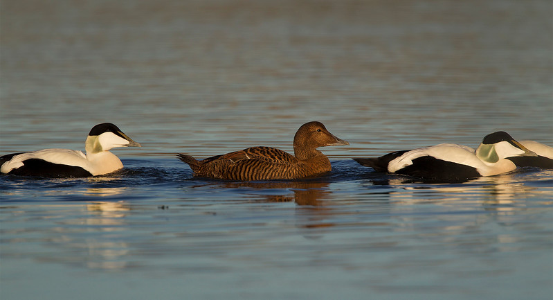 Male and female Eider Ducks. John Chapman.