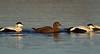 Male and female Eider Ducks. John Chapman.