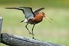 Black Tail Godwit. John Chapman.