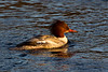 Female Goosander in Beautiful Light. John Chapman