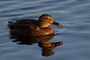 Female Mallard Duck in beautiful Light. John Chapman.