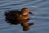 Female Mallard Duck in beautiful Light. John Chapman.