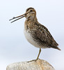 Common Snipe. John Chapman.