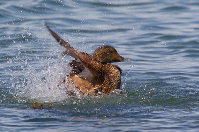 Female Eider Duck Splashing. John Chapman.