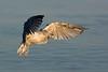 Imm. Herring Gull.