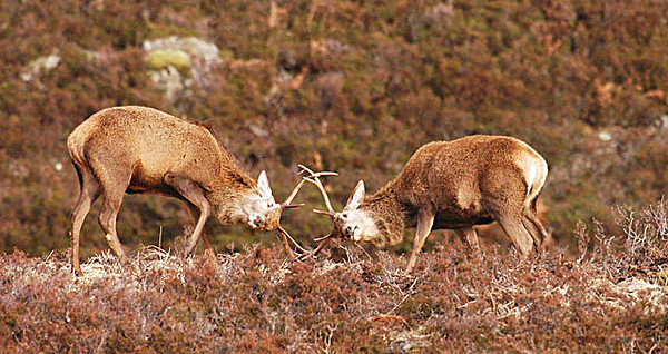 Red Stags fighting. John Chapman.