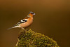 Male Chaffinch. John Chapman.