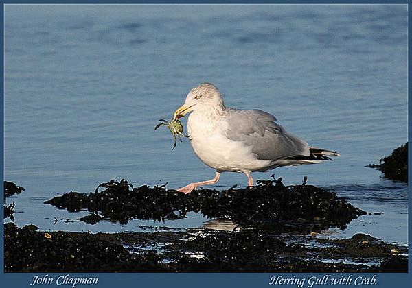 Immature Herring gull.