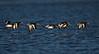 Oystercatchers in Flight. John Chapman.