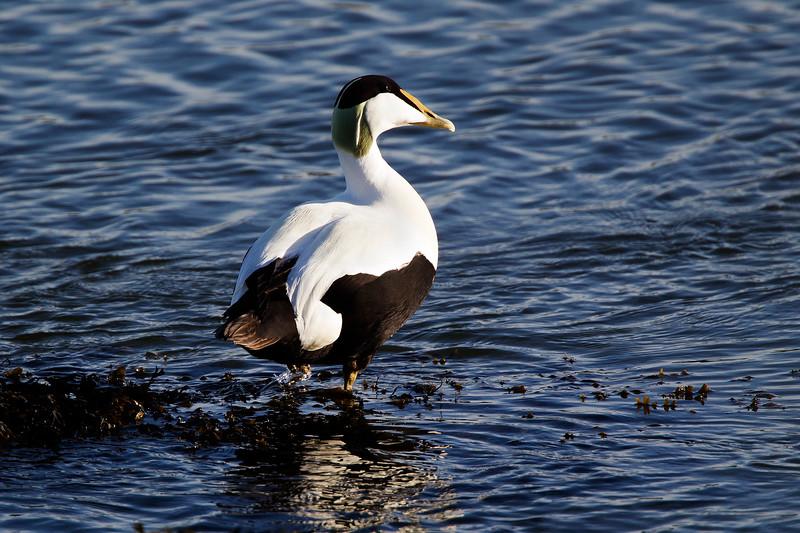 Male Eider Duck. John Chapman.