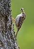 Treecreeper with food. John Chapman.