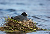 Coot at nest.