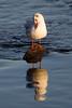 B. H. Gull in Winter Plumage. John Chapman.
