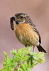 Female Stonechat with Caterpillar. John Chapman.