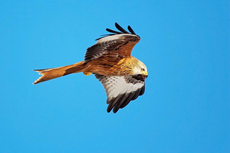 Red Kite. John Chapman.