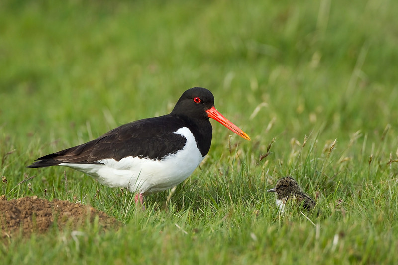 Oystercatcher with a chick.