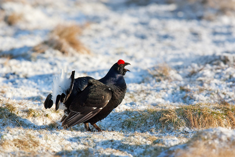 Black Cock Displaying. John Chapman.