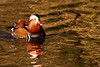 Mandarin Duck. John Chapman. Accepted in the Local newspaper.