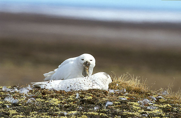 Snowy Owl with Lemming.