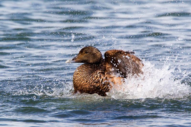 Female Eider Duck Splashing about.. John Chapman.
