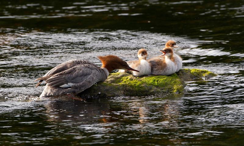 Gooseander with chicks. John Chapman.