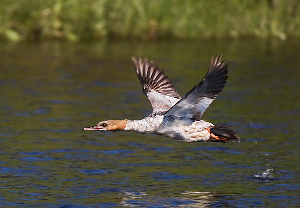 Female Gooseander starting to moult. John Chapman.