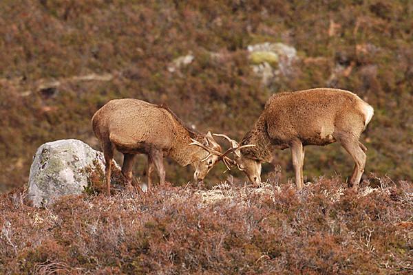 Red Deer Stags fighting.