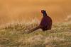 Pheasant. John Chapman.