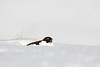 Red Grouse in Snow.