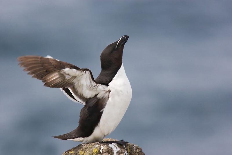 Razorbill. Published in The Breeding Birds of North East Scotland.
