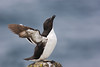 Razorbill. Published in The Breeding Birds of North East Scotland.