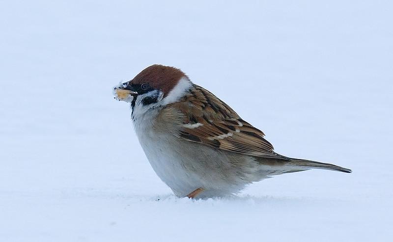 Tree Sparrow. John Chapman.