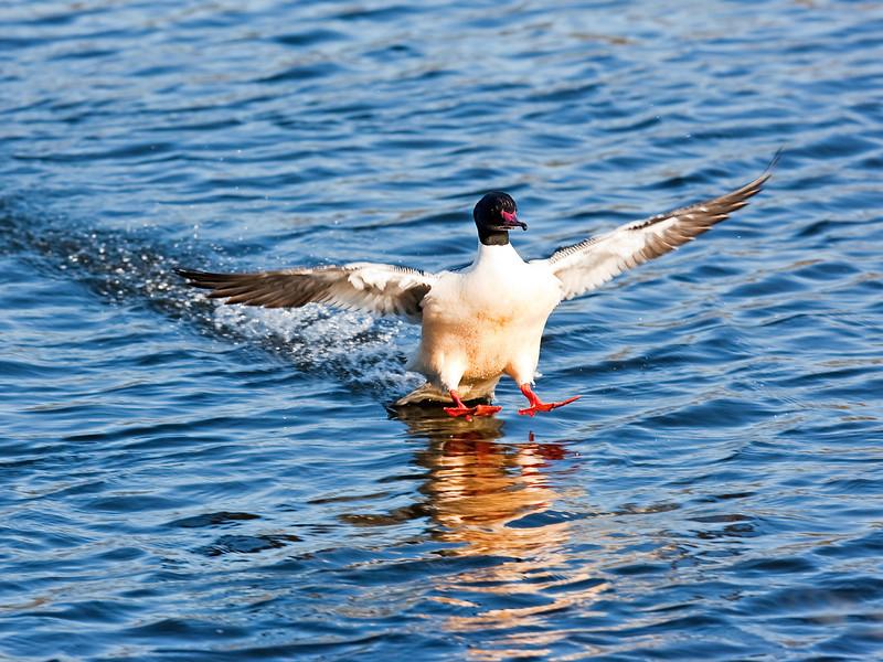 Male Gooseander landing.