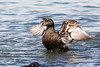Female Eider Duck. John Chapman.