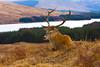 Red Deer Resting. John Chapman.