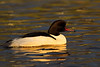 Male Goosander in last light of the day.
