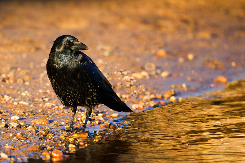 Carrion Crow in Beautiful light. John Chapman.