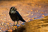 Carrion Crow in Beautiful light. John Chapman.