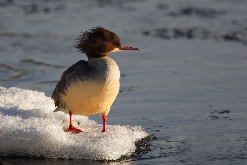 Female Goosander. John Chapman. Accepted in the Local Newspaper.