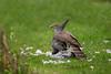 Female Sparrowhawk on kill. John Chapman.