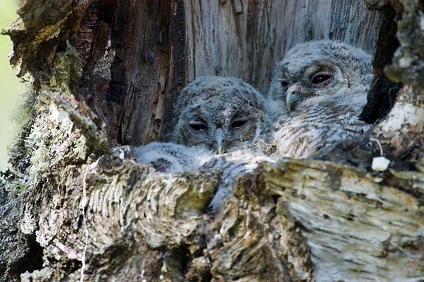 Tawny Owl Chicks.