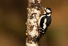 Male Great Spotted Woodpecker. John Chapman
